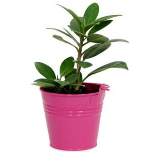 Foicus Plant - Indoor Plants Online