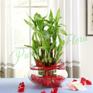 Bamboo Delight - Send Diwali Plants Online