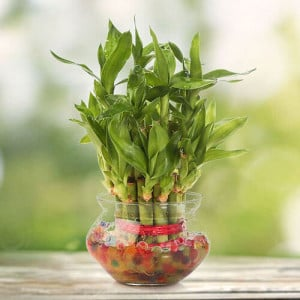 2 Layer Lucky Bamboo - Send Lucky Bamboo Plants Online