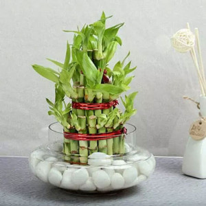3 Layer Lucky Bamboo - Send Lucky Bamboo Plants Online