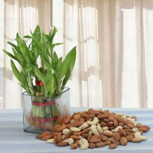 Fascination - Send Lucky Bamboo Plants Online