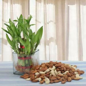 Fascination - Indoor Plants Online