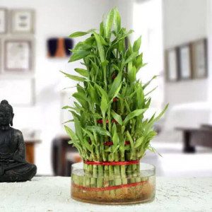 5 Layer Lucky Bamboo - Send Lucky Bamboo Plants Online