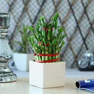 Lucky Bamboo 3 Layer - Indoor Plants Online