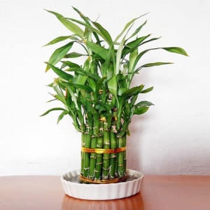 Lucky Bamboo 2 Layer - Send Lucky Bamboo Plants Online