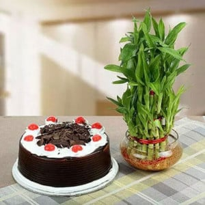 Lucky Bamboo N Blackforest Cake - Online Flowers Delivery In Pinjore