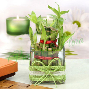 Lucky Two Layer Bamboo Plant - Send Diwali Plants Online