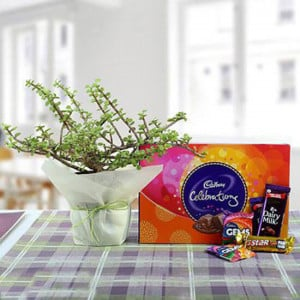 Delicious Chocolates N Jade Plant Combo - Send Flowers and Chocolates Online