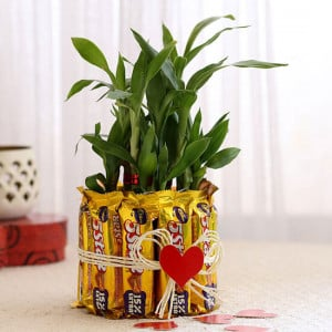 Lucky Bamboo with Five Star Chocolates Combo - Send Flowers and Chocolates Online
