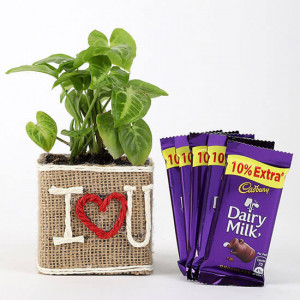Syngonium Plant In Vase With Dairy Milk Chocolates - Send Diwali Plants Online