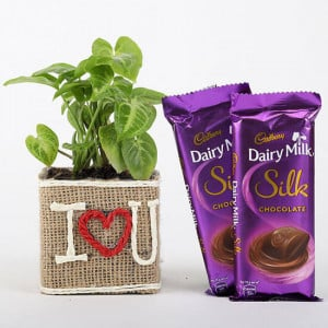 Syngonium Plant In Vase With Dairy Milk Silk Chocolates - Send Diwali Plants Online