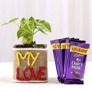 Syngonium Plant With Dairy Milk Chocolates - Send Diwali Plants Online