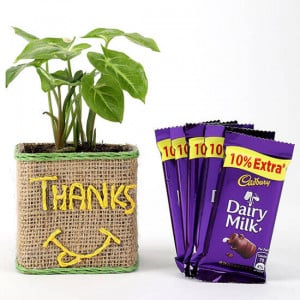 Syngonium Plant In Glass Vase With Dairy Milk Chocolates - Send Diwali Plants Online