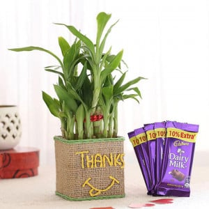 2 Layer Lucky Bamboo In Glass Vase With Dairy Milk Chocolates - Send Flowers and Chocolates Online
