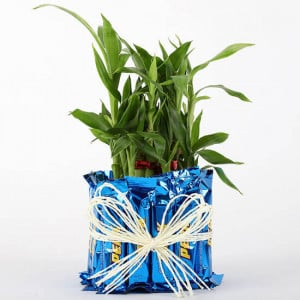 2 Layer Lucky Bamboo With Perk Chocolates - Send Diwali Plants Online