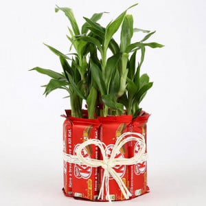 2 Layer Lucky Bamboo Kit Kat Chocolates - Send Plants n Chocolates Online
