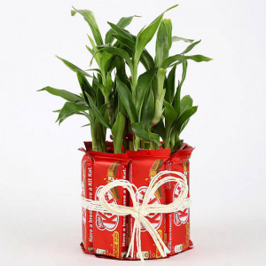 2 Layer Lucky Bamboo Kit Kat Chocolates - Send Diwali Plants Online