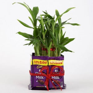 2 Layer Lucky Bamboo With Dairy Milk Chocolates - Send Diwali Plants Online