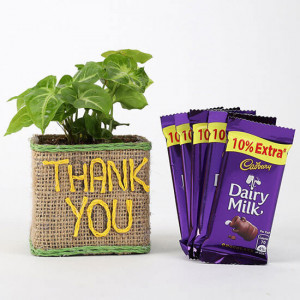 Syngonium Plant In Thank You Vase With Dairy Milk Chocolates - Send Diwali Plants Online