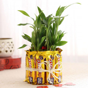 2 Layer Lucky Bamboo With 5 Star Chocolates - Send Diwali Plants Online