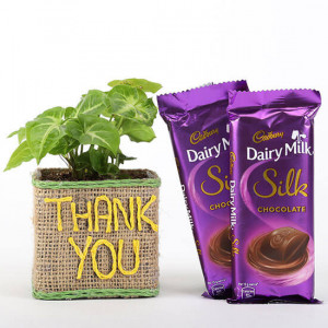 Syngonium Plant In Thank You Vase With Dairy Milk Silk Chocolates - Send Diwali Plants Online