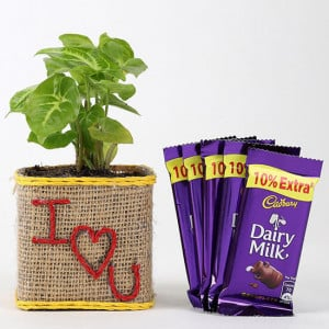 Valentine Special Syngonium Plant With Dairy Milk Chocolates - Send Diwali Plants Online