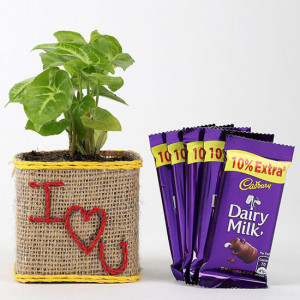 Valentine Special Syngonium Plant With Dairy Milk Chocolates - Mothers Day Gifts Online