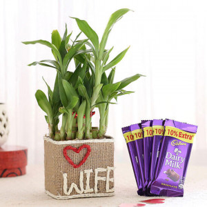 2 Layer Lucky Bamboo For Wife With Dairy Milk Chocolates - Send Diwali Plants Online