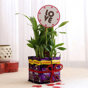 Lucky Bamboo with Love Tag & Dairy Milk Combo - Send Flowers and Chocolates Online