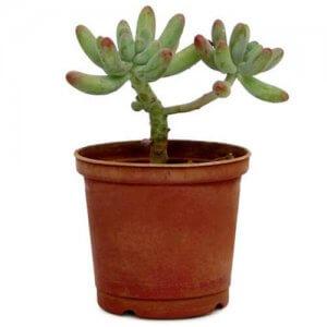 Seedum Baby Plant