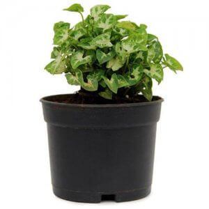 Syngonium Plant - Indoor Plants Online