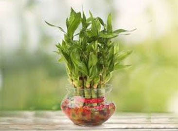 Send Lucky Bamboo Plants Online